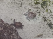 turtles at Atlantis
