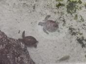 turtles at Atlantis